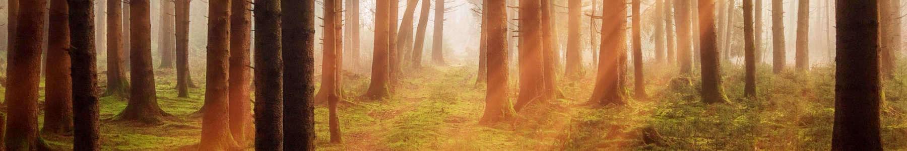 Szkółka drzew i krzewów Betula