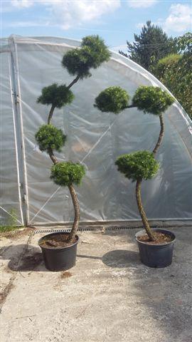 Krzewy formowane