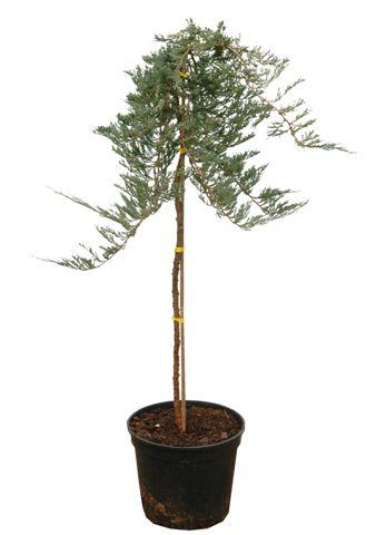 Drzewa formowane